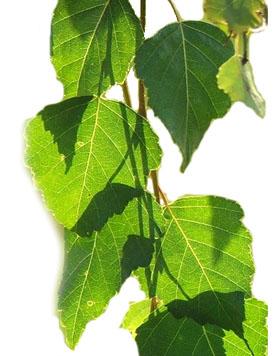 листья березы
